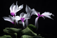 Cyclamen. A shot of a cyclamen plant Stock Image