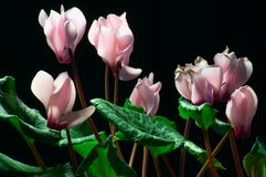 Cyclamen. On a black background Stock Photo