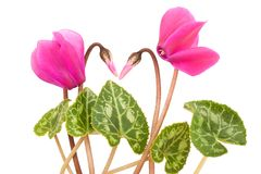 Cyclamen Photos stock