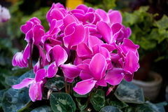 Free Cyclamen Stock Photography - 37084832