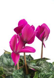 Cyclamen Royalty Free Stock Images