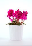 Cyclamen Image stock