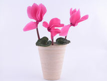 Cyclamen Stockbilder