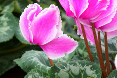 cyclamen Fotografia Stock