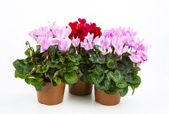 Free Cyclamen Royalty Free Stock Photography - 72314237