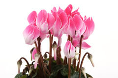 Cyclamen Fotografia de Stock Royalty Free