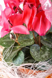 cyclamen Images stock