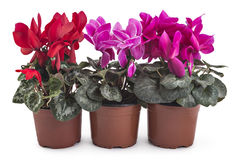 Free Cyclamen Royalty Free Stock Photography - 92716497