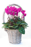 Cyclamen in a basket. A basket containing a flowering cyclamen plant is shown against a white background royalty free illustration