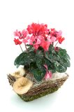 Cyclamen in a basket. Isolated on white background Royalty Free Stock Photography
