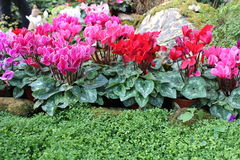 Cyclamen. Beautiful Cyclamen in The Gardens Stock Photography