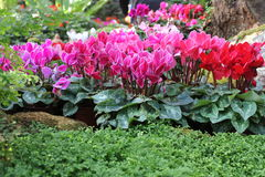 Cyclamen. Beautiful Cyclamen in The Gardens Royalty Free Stock Images
