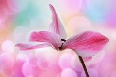 cyclamen blomman royaltyfri fotografi