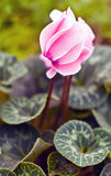 cyclamen blomman Arkivbilder