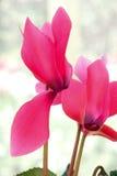 cyclamen blomman Fotografering för Bildbyråer