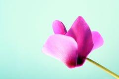 cyclamen blommapinken Fotografering för Bildbyråer