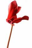 cyclamen blommared Fotografering för Bildbyråer
