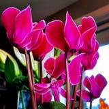 cyclamen blommor royaltyfri foto