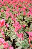 cyclamen blommor Arkivfoton