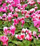 Cyclamen blommor Arkivfoto