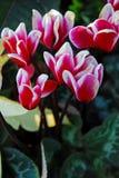 cyclamen blommor Fotografering för Bildbyråer