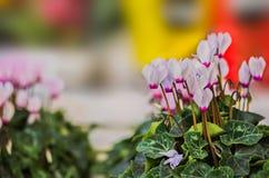 cyclamen blommor Royaltyfri Fotografi