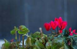 cyclamen blommor Arkivbild