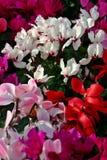 cyclamen blomningmass Arkivfoton