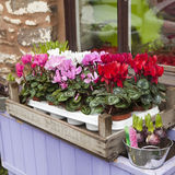 Cyclamen in box on window-sill Royalty Free Stock Photo
