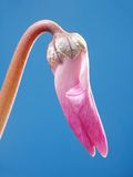 Cyclamen bud Royalty Free Stock Photo