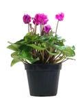 Cyclamen conservato in vaso Persicum Immagini Stock Libere da Diritti