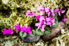 Cyclamen coum (Primulaceae) Stock Image