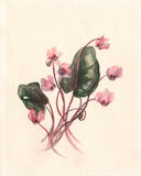 Cyclamen coum watercolor painting Stock Photos