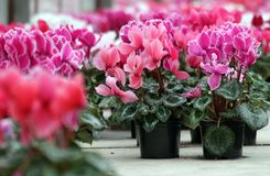 Cyclamen. Cyclamen flowers in blossom in greenhouse ready for sales. Pink, purple, ornamental, white, violet cyclamens with green. Leafs in plastic pots Royalty Free Stock Photography