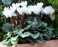 Cyclamen - Cyclamen persicum Stock Photos