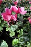 cyclamen Cyclamens roses dans le pot sur le fond blanc Configuration florale Drapeau des fleurs Background Photographie stock libre de droits