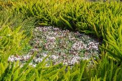 Cyclamen de ressort, fleurs pourpres douces Photos libres de droits