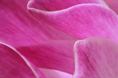 Cyclamen detail Royalty Free Stock Images