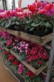 cyclamen El ciclamen florece en flor en el invernadero listo para las ventas Cyclamens rosados, púrpuras, ornamentales, blancos,  Fotografía de archivo