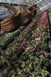 cyclamen El ciclamen florece en flor en el invernadero listo para las ventas Cyclamens rosados, púrpuras, ornamentales, blancos,  Imagenes de archivo