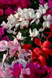 Cyclamen fleurissant de masse Photos stock