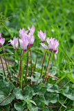 Cyclamen Flower Stock Image