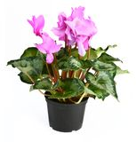 Cyclamen flower Royalty Free Stock Image
