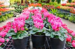 Cyclamen flower Stock Photography