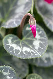 Cyclamen Flower Stock Images