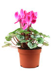 Cyclamen flower in a pot Royalty Free Stock Image