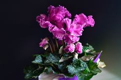 Cyclamen Flower Purple with White Edges black background. Derived from Cyclamen Persicum, family primulaceae, genus cyclamen, cultivar has fringed or curly royalty free stock photo