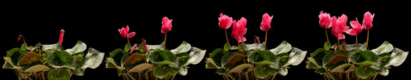 Cyclamen Flower Series. Time lapse series of pink cyclamen flowers blooming Royalty Free Stock Photography