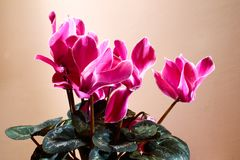 Cyclamen flower - spring flowering - Pink background. Indoor plant Royalty Free Stock Images