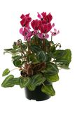 Cyclamen flowerpot Stock Images